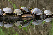 Tim Moore Metal Prints - Painted Turtles Metal Print by Tim Moore