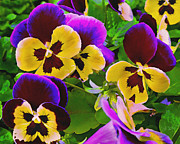 Digitally Altered Floral Posters - Painterly Purple Pansy Poster by Peter Piatt