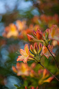 Painterly Photos - Painterly Rhodies by Mike Reid