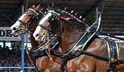 Handcrafted Art - Pair of Budweiser Clydesdale Horses In Harness USA Rodeo by Sally Rockefeller