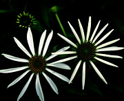 Cone Flowers Posters - Pair of Cone Flowers in Black and White Poster by Emilio Lovisa