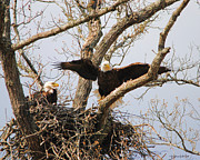 Eagle Metal Prints - Pair of Eagles at Nest Metal Print by Jai Johnson