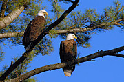 Bird Images Acrylic Prints - Pair of Eagles Acrylic Print by Larry Ricker