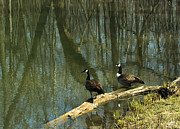 Reflection Of Trees In Water Posters - Pair of Geese Poster by Devinder Sangha