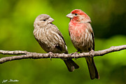 Jeff Goulden - Pair of House Finches in...
