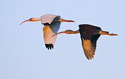 Fort Meyers Framed Prints - Pair Of Ibis In Flight Framed Print by J L Woody Wooden