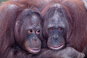 Robert Jensen Metal Prints - Pair Of Orangutans Metal Print by Robert Jensen