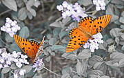 Monarch Art - Pair of Passion Butterflies Isolated by Cathy Lindsey