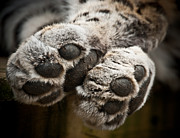 Chris Boulton - Pair of Paws