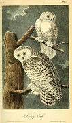 Audubon Drawings Posters - Pair of Snowy Owls Poster by Philip Ralley