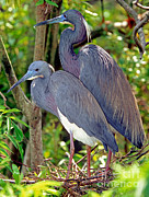 Louisiana Heron Framed Prints - Pair Of Tricolored Heron At Nest Framed Print by Millard H. Sharp