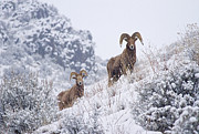Bighorn Sheep Posters - Pair of Winter Rams Poster by Mike  Dawson