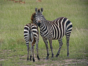 Tony Murtagh - Pair of zebra