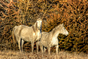 White Horses Photo Prints - Paired Print by Thomas Danilovich