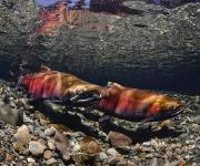Coho Framed Prints - Paired Up Coho With Female Salmon Framed Print by Thomas Kline