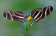 Colorful Photos Prints - Pairing Zebra Longwing Butterflies Print by Juergen Roth