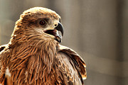 Day Pyrography Originals - Pakistani Eagle by Shakir Manzoor