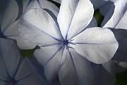 Tracey Harrington-Simpson - Pale Blue Plumbago...