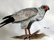 Chanting Prints - Pale Chanting Goshawk Print by Tracey Snyman