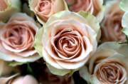 Pale Pink Roses Print by Kathy Yates