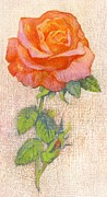 Thorn Paintings - Pale Rose by George Adamson