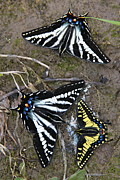 Swallowtail Photos - Pale Swallowtails and Western Tiger Swallowtail Butterflies by Karon Melillo DeVega