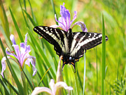 Betty E Duncan - Pale Tiger Swallowtail