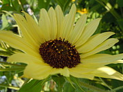 Sunflower Photos - Pale Yellow Angled Sunflower by Sonya Chalmers