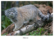 Sue Arber - Pallas Cat