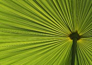Backlit Leaf Prints - Palm Fron Abstract Print by Sabrina L Ryan