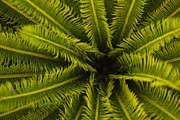 Del Rio Tx Prints - Palm Fronds Print by Amber Kresge