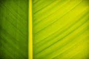 Tree Lines Photo Framed Prints - Palm leaf macro abstract Framed Print by Adam Romanowicz