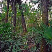 Chris Kusik Framed Prints - Palm Menagerie. Highlands Hammock. Framed Print by Chris  Kusik