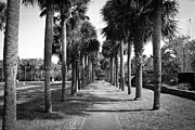 Palmetto Plants Photos - Palm Tree Alley  by Jessica Brown