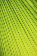 Vitality Posters - Palm tree leaf abstract Poster by Elena Elisseeva