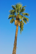 Green Leafs Posters - Palm Tree Over Clear Blue Sky Poster by Kiril Stanchev