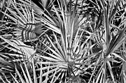 Frond Prints - Palmetto Print by Patrick M Lynch