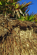 Palmettos Prints - Palmettos and Roots on the Beach of Jekyll Island State Park Print by Bruce Gourley