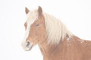 James BO  Insogna - Palomino Horse Headshot Snow and Fog