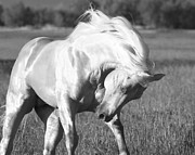 Palomino Photos - Palomino Stallion  Runs by Carol Walker
