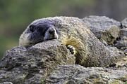 Tim Moore - Palouse Falls Marmot