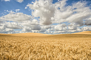 Alex Isom - Palouse Wheat