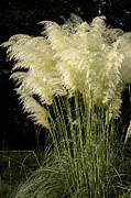 Pampas Grass Framed Prints - Pampas Grass Cortaderia selloana Framed Print by Matthias Hauser