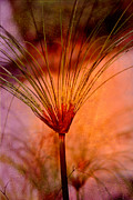 Pampas Grass Framed Prints - Pampas Grass - II Framed Print by Susanne Van Hulst