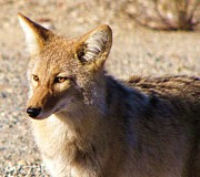 Panamint Valley Posters - Panamint Springs Coyote Poster by Michele Penner