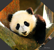 Tap On Photo Prints - Panda Bear Baby Love Print by Marcia Fontes Photography