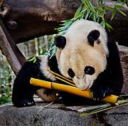 Panda Bear Print by Robert Bales