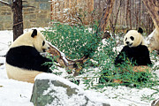 Panda Bears Photos - Panda Bears in Snow by Chris Scroggins