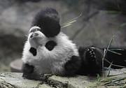 Panda Cub At National Zoo Print by Jack Nevitt