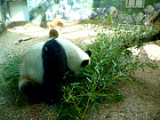 Panda Bears Photos - Panda Eating Our Donated Bamboo by Renee Trenholm